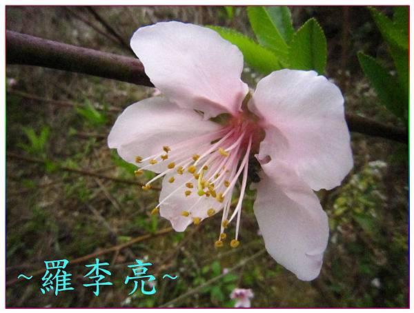 桃花朵朵開 006.jpg