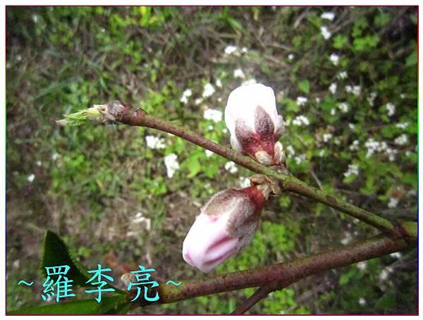 桃花朵朵開 008.jpg
