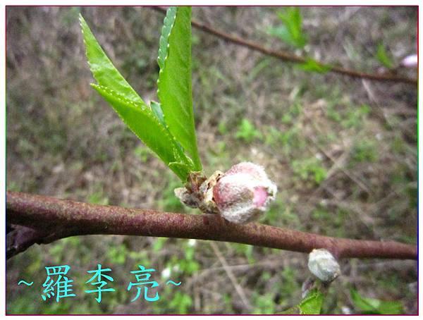 桃花朵朵開 007.jpg