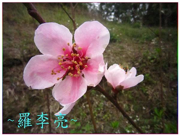 桃花朵朵開 009.jpg