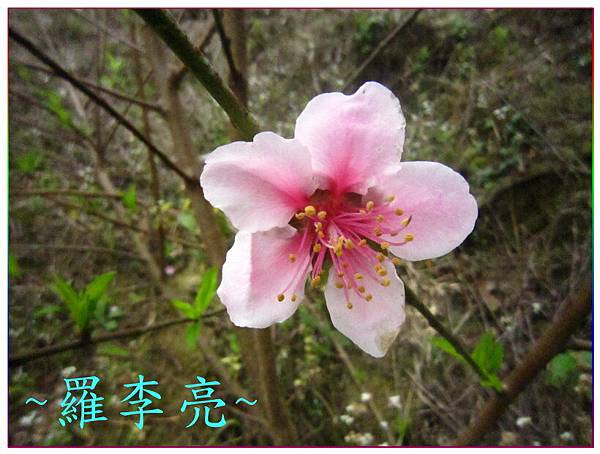 桃花朵朵開 011.jpg