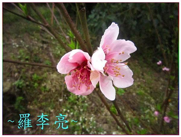 桃花朵朵開 010.jpg