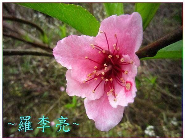 桃花朵朵開 013.jpg