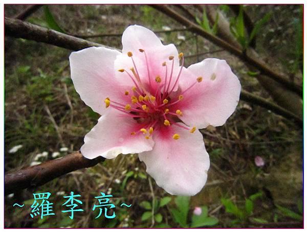 桃花朵朵開 012.jpg