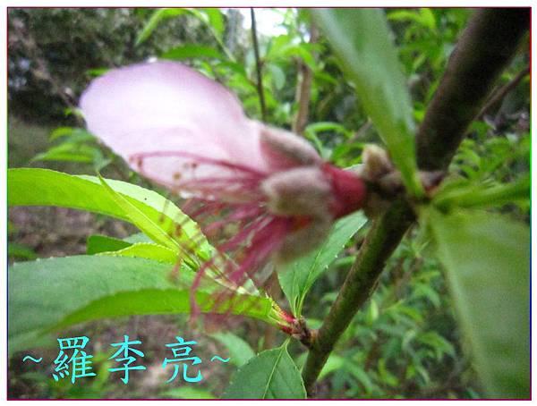 桃花朵朵開 015.jpg