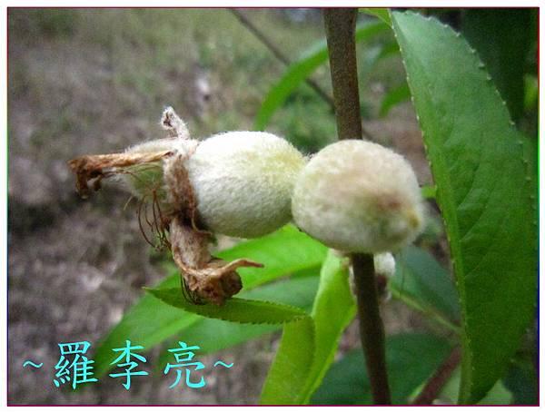 桃花朵朵開 017.jpg