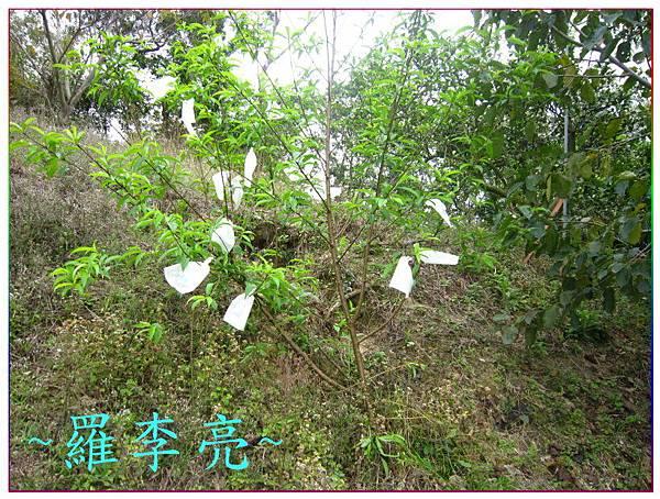 桃花朵朵開 018.jpg