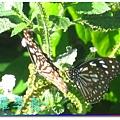 蝴蝶和大尾搖 019.jpg
