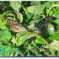 蝴蝶和大尾搖 021.jpg