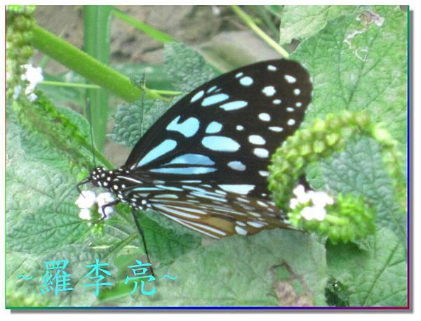 蝴蝶和大尾搖 022.jpg