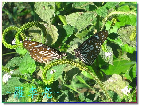 蝴蝶和大尾搖 020.jpg