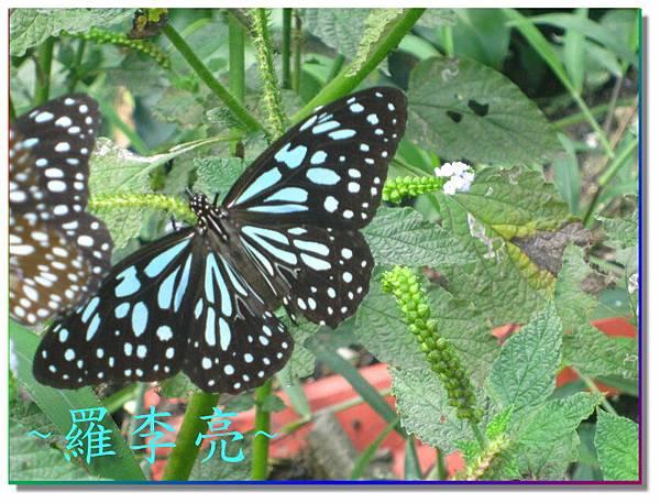 蝴蝶和大尾搖 023.jpg