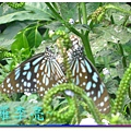 蝴蝶和大尾搖 025.jpg