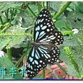 蝴蝶和大尾搖 024.jpg