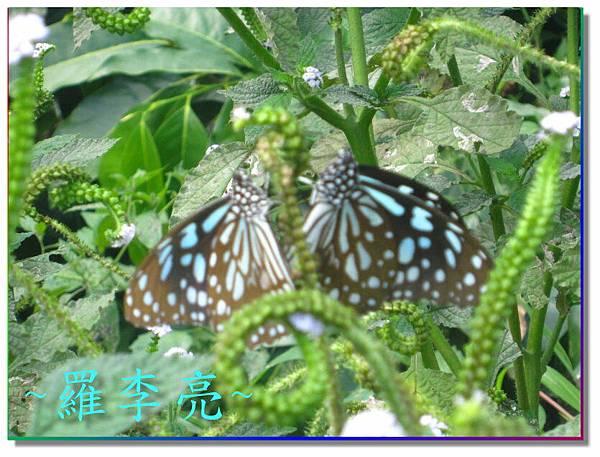 蝴蝶和大尾搖 026.jpg