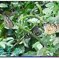 蝴蝶和大尾搖 027.jpg