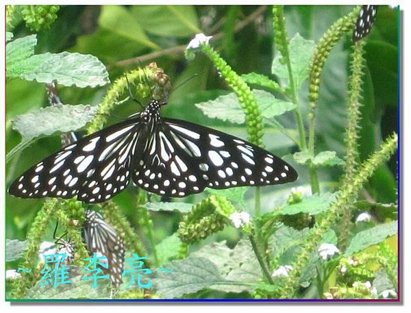 蝴蝶和大尾搖 031.jpg