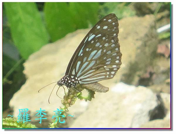 蝴蝶和大尾搖 034.jpg