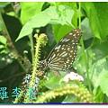 蝴蝶和大尾搖 036.jpg