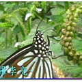 蝴蝶和大尾搖 038.jpg