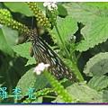 蝴蝶和大尾搖 035.jpg