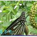 蝴蝶和大尾搖 039.jpg
