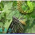蝴蝶和大尾搖 037.jpg