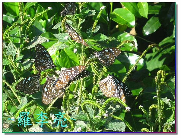 蝴蝶和大尾搖 003.jpg