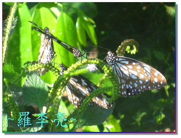 蝴蝶和大尾搖 002.jpg