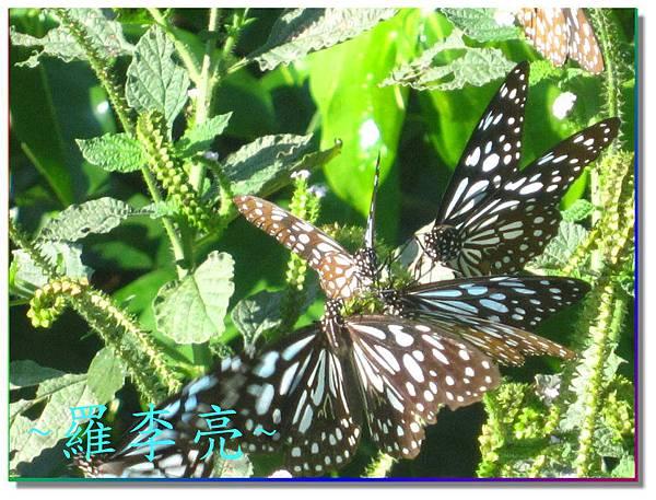 蝴蝶和大尾搖 005.jpg