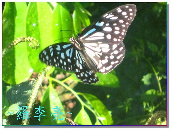 蝴蝶和大尾搖 008.jpg