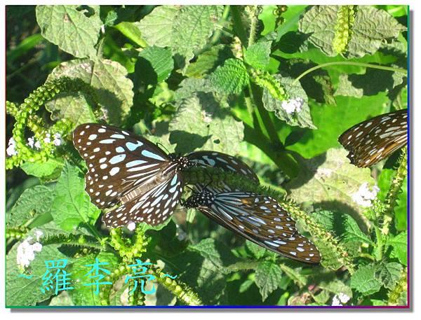 蝴蝶和大尾搖 011.jpg