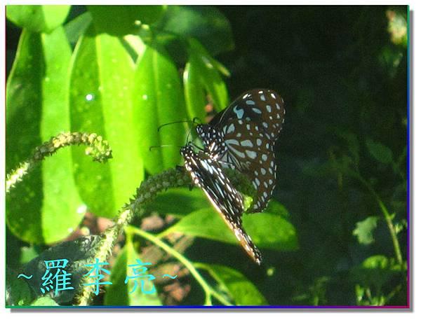 蝴蝶和大尾搖 009.jpg