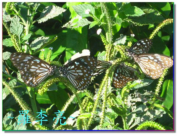蝴蝶和大尾搖 013.jpg