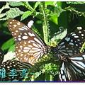 蝴蝶和大尾搖 015.jpg