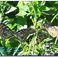 蝴蝶和大尾搖 012.jpg