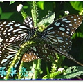 蝴蝶和大尾搖 016.jpg