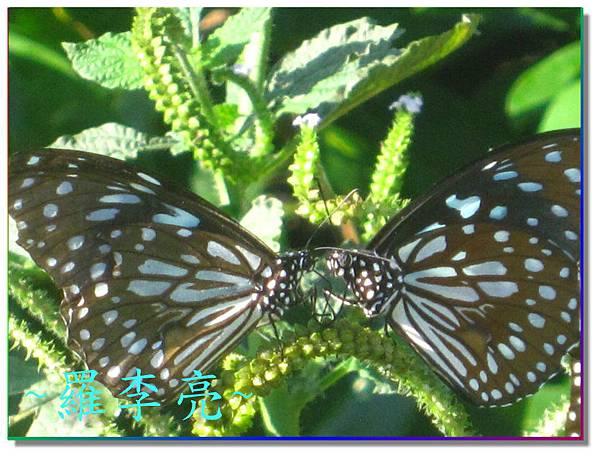 蝴蝶和大尾搖 014.jpg