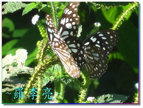 蝴蝶和大尾搖 018.jpg