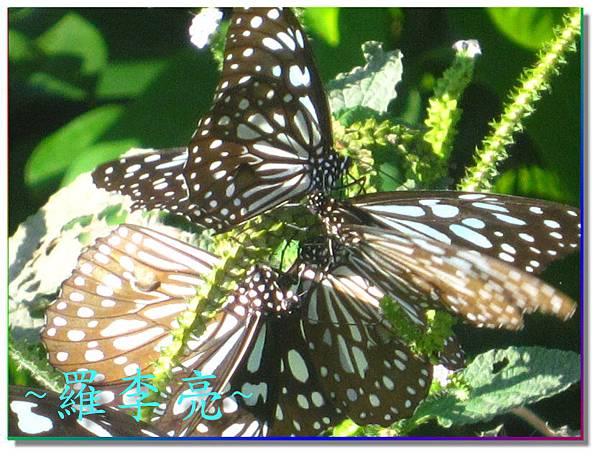 蝴蝶和大尾搖 017.jpg