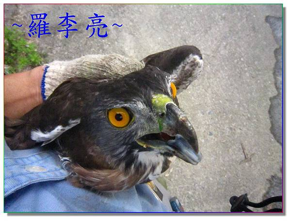 鷹 001.jpg