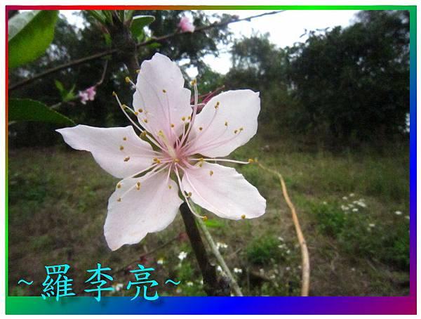 水蜜桃花 030.jpg