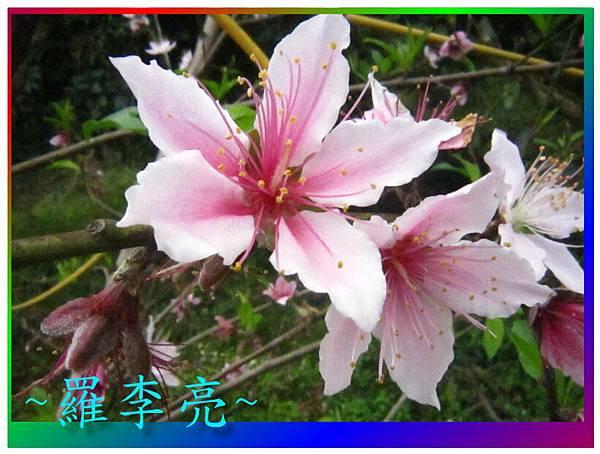 水蜜桃花 035.jpg