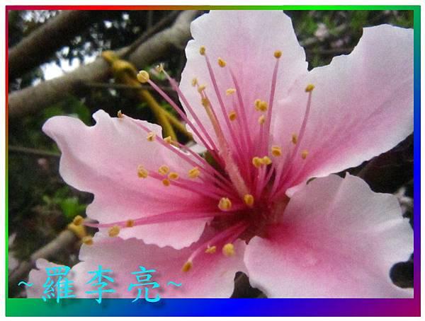 水蜜桃花 037.jpg