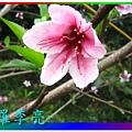 水蜜桃花 036.jpg