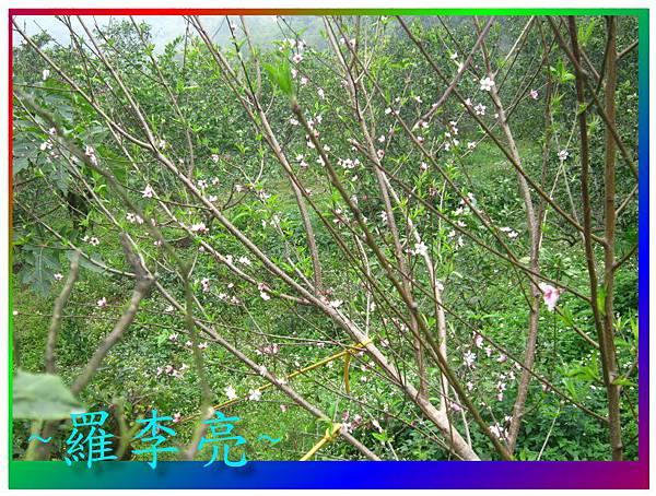 水蜜桃花 038.jpg