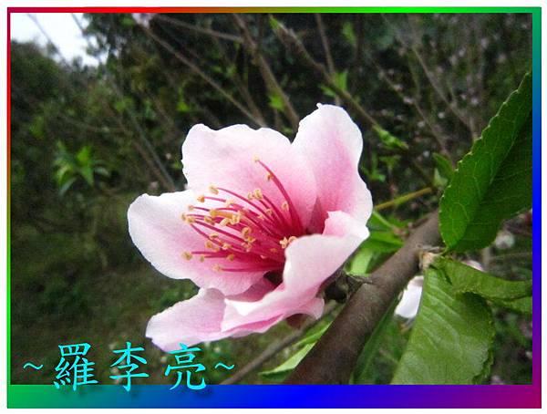 水蜜桃花 040.jpg