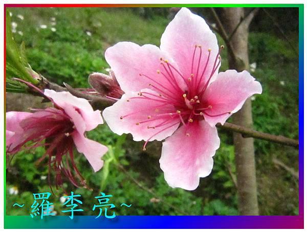 水蜜桃花 004.jpg