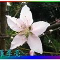 水蜜桃花 003.jpg