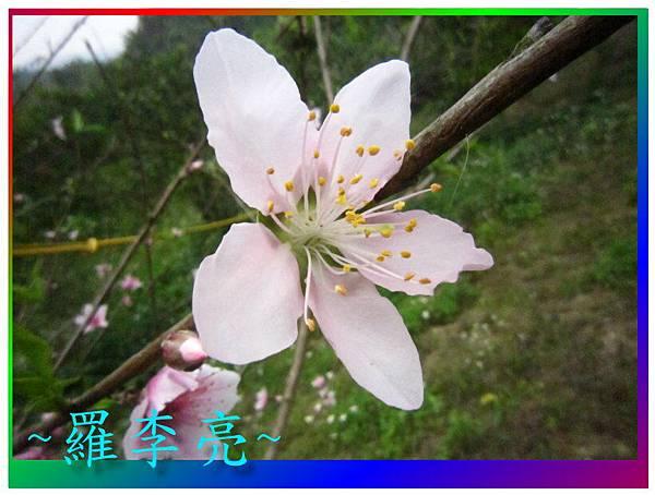 水蜜桃花 008.jpg